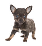 Black chihuahua puppy. Five weeks old little chihuahua puppy on a white background Royalty Free Stock Photography