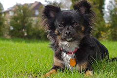 Black Chihuahua Royalty Free Stock Photos