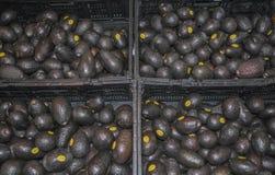 Black Chilean avocado hass Stock Photo