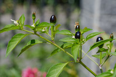Black Chili plant Royalty Free Stock Images