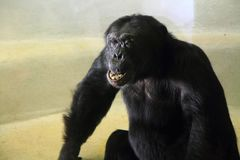 Black chimp monkey Royalty Free Stock Photos