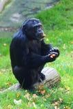 Black chimp monkey Royalty Free Stock Photo