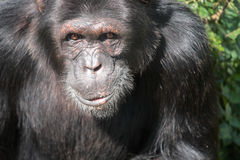 Black chimpanzee. Close up of a cute black chimpanzee Stock Photo