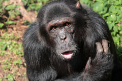 Black chimpanzee Stock Photo