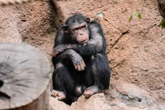 Black Chimpanzee Ape Mammal Animal Royalty Free Stock Photos