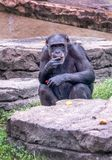 Black chimpanzee grazes on fruit and veggies. As he relaxes in an outdoor zoo habitat in North America royalty free stock images