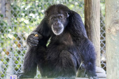 Black Chimpanzee. Hairy Black Chimpanzee Holds a Piece of Brown Food while Sitting royalty free stock photography