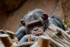 Black Chimpanzee Mammal Ape Stock Photos