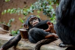 Black Chimpanzee Mammal Ape. Wild Black Chimpanzee Mammal Ape Monkey Animal royalty free stock photos