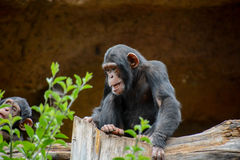 Black Chimpanzee Mammal Ape Royalty Free Stock Photo