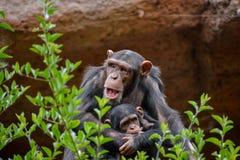 Black Chimpanzee Mammal Ape Stock Images