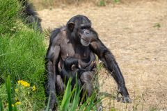 Black chimpanzee monkey in safari park. Close up stock photography