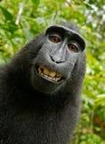Black Chimpanzee Smiling Royalty Free Stock Photography