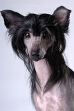 Black Chinese Crested Dog. Isolated on gray stock photos