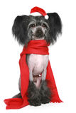 Black Chinese Crested Dog in red scarf Royalty Free Stock Image