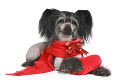 Black Chinese Crested Dog in red scarf. Chinese Crested Dog in scarf with red heart on a white background stock photo