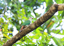 Black-chinned Fruit Dove Stock Photography
