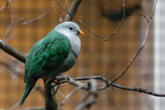 Black-chinned fruit dove royalty free stock photo