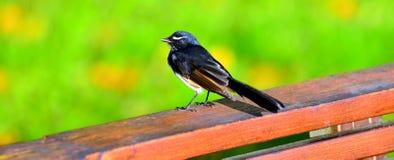 Black-chinned Honeyeater bird Royalty Free Stock Images