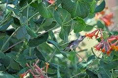 Black-chinned Hummbingbird collecting nectar Royalty Free Stock Photo