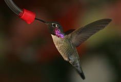 Black Chinned Hummingbird - 1. Black Chinned Hummingbird Drinks From Feeded, Neck Feathers Irridescent Purple In The sun royalty free stock photo