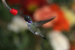 Black Chinned Hummingbird - 2. Black Chinned Hummingbird Drinks From Feeder, Colorful Background stock images