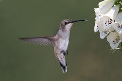 black chinned hummingbird Arkivfoto