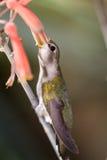 black chinned hummingbird royaltyfri bild