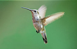 black chinned hummingbird Arkivbilder