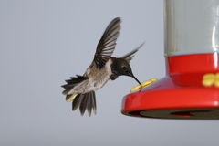 black chinned hummingbird Arkivfoton