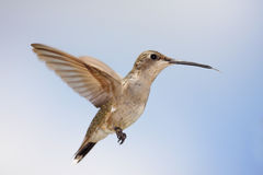 Black-chinned Hummingbird (Archilochus alexandri). Female Black-chinned Hummingbird (Archilochus alexandri) in flight with a blue sky background with clouds stock photo