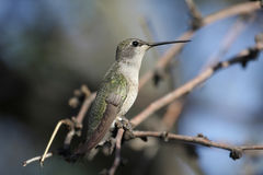 Black-chinned Hummingbird (Archilochus alexandri). On a perch royalty free stock photo