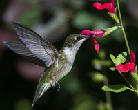 Black-Chinned Hummingbird Archilochus Alexandri. A black-chinned hummingbird feeds on red sage Royalty Free Stock Images