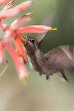 Black-chinned Hummingbird Stock Photo
