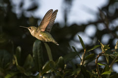 Black-Chinned Hummingbird Archilochus Alexandri. A black-chinned hummingbird in flight Stock Photos