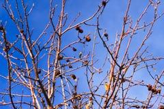 Black-chinned Hummingbird (Archilochus alexandri) Royalty Free Stock Photo