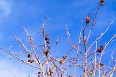 Black-chinned Hummingbird (Archilochus alexandri) Stock Image
