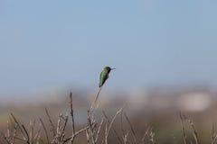 Black chinned hummingbird Stock Images