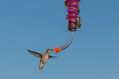 Black-chinned Hummingbird at Feeder Stock Photo