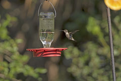 Black Chinned Hummingbird in Flight Royalty Free Stock Photo