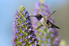 Black-chinned Hummingbird Stock Image