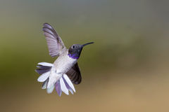 Black-chinned Hummingbird hovering. Adult male Black-chinned Hummingbird hovering Stock Photos