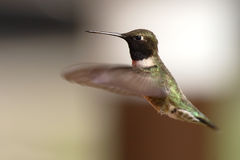 Black-chinned Hummingbird Hovering. A male Black-chinned Hummingbird hovering in flight Stock Images
