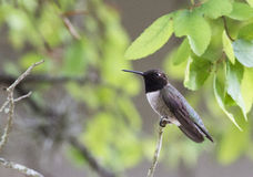 Black-chinned Hummingbird Royalty Free Stock Photos