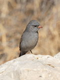 black chinned sparrow Arkivfoton