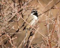 Black Chinned Sparrow Royalty Free Stock Photo