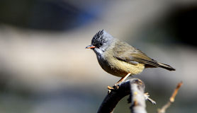 Black-chinned Yuhina Royalty Free Stock Photography
