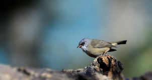 Black-chinned Yuhina Stock Image