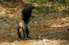 Black chipmunk stand on ground Stock Photos
