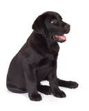 Black-Chocolate Labrador Retriever Puppy Royalty Free Stock Photo